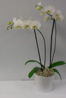 Elegant White or Purple Orchid