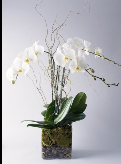 White Earth Orchid