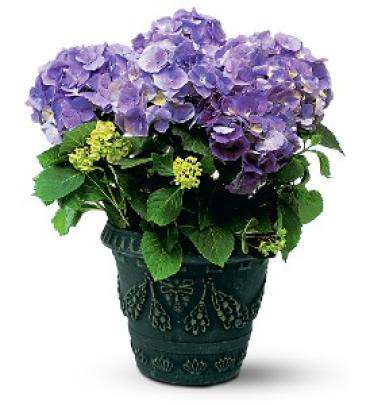 Happy Hydrangea - Purple
